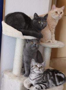 Britisch-Kurzhaar Katzen